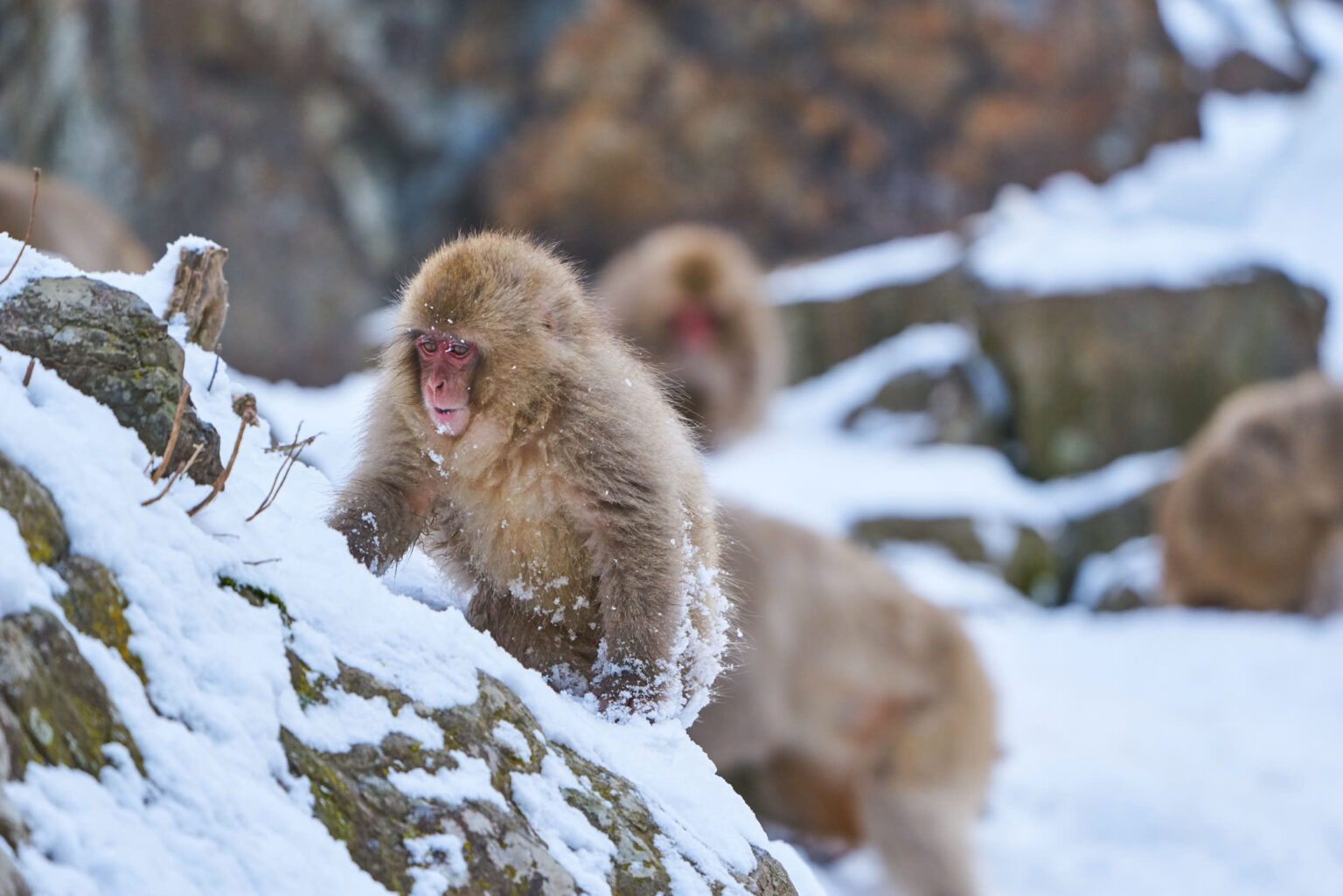 A macaque plays in Japan's Snow Monkey Park