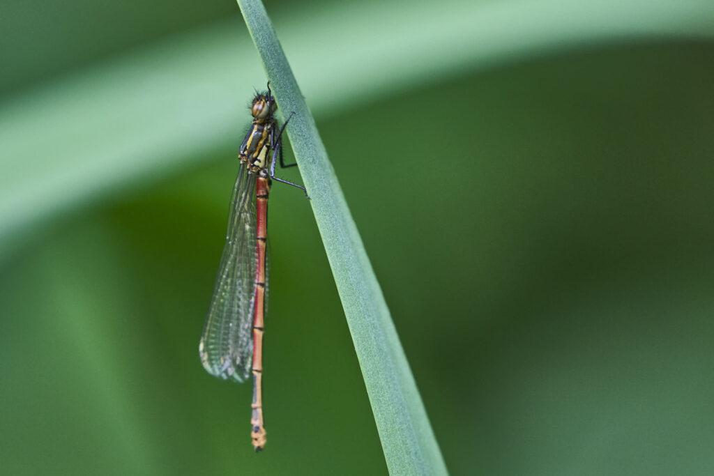 Dragonfly Rests Over Pond