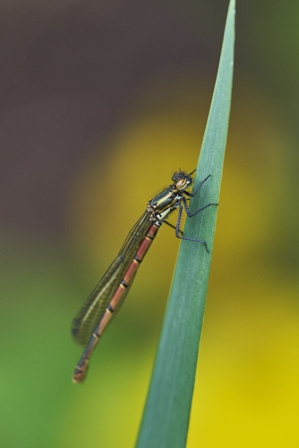 Dragonfly Rests Over Pond III