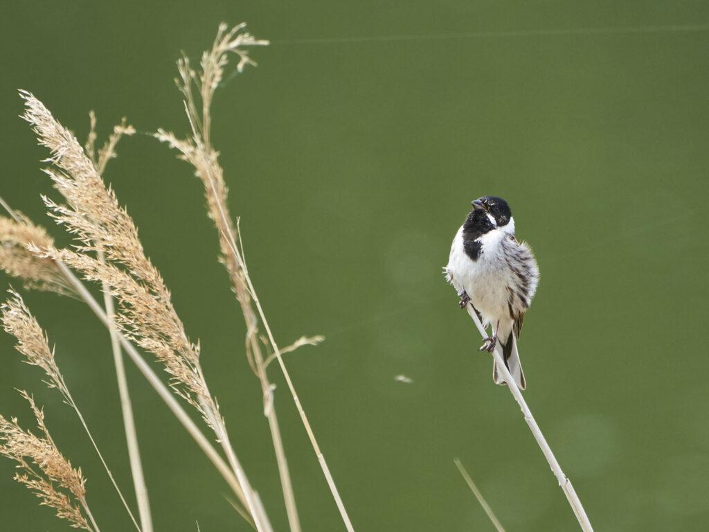 Reed Warbler at Walthamstow Wetlands