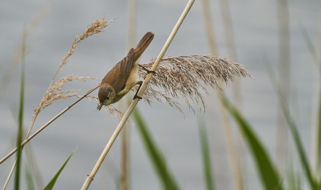 Reed Warbler Woodberry Down spotted on a lockdown adventure